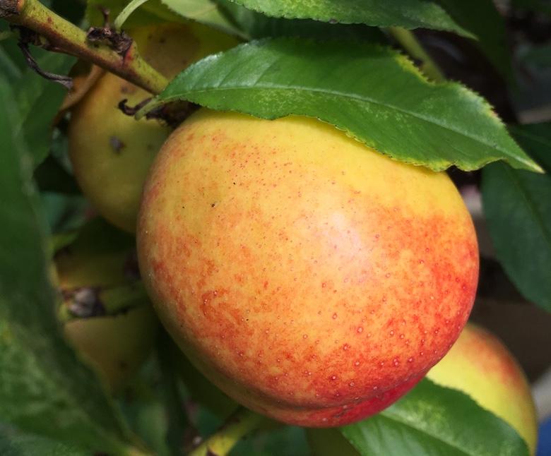 Nectarine and peach growing in Bramble Garden