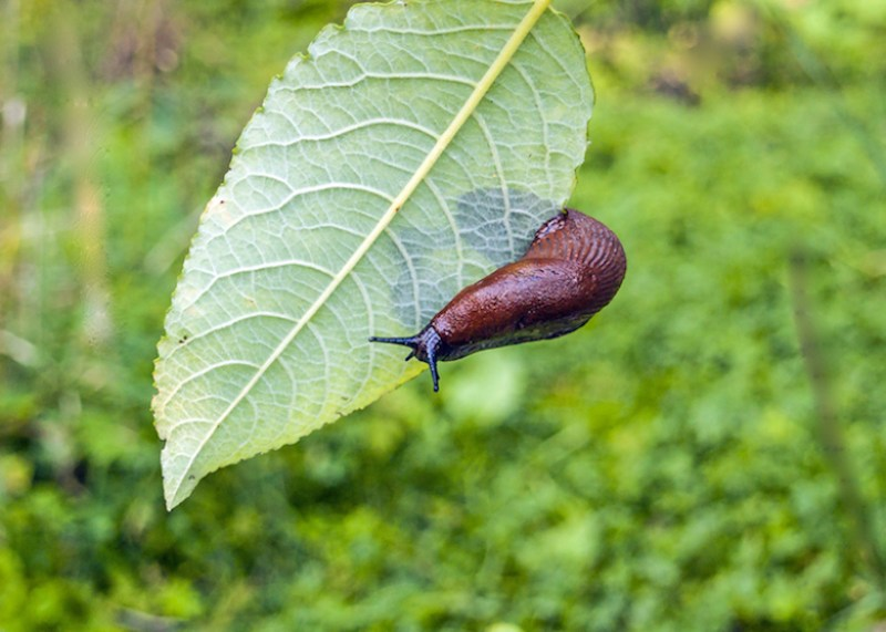slug-on-a-leaf