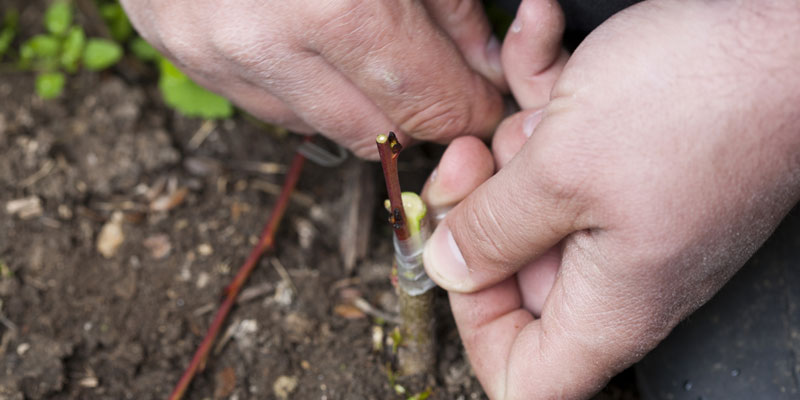 Grafting a rootstock