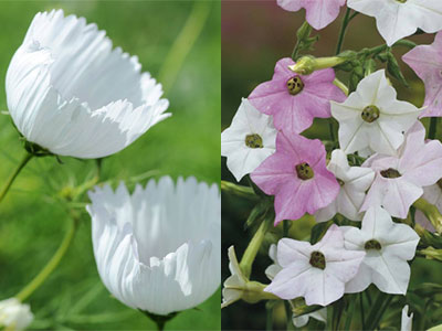 cosmos cupcakes and nicotiana