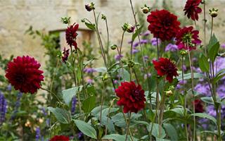 The Delights of Dahlias