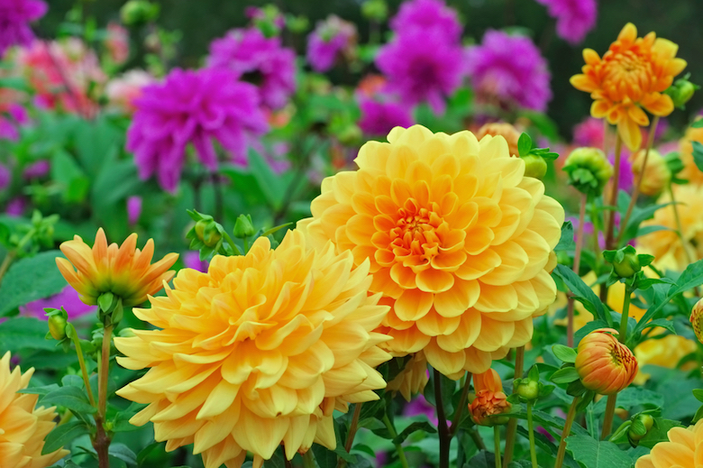 two dahlia flowers blooming