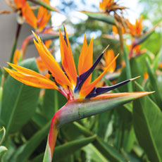 Strelitzia reginae Bird of Paradise