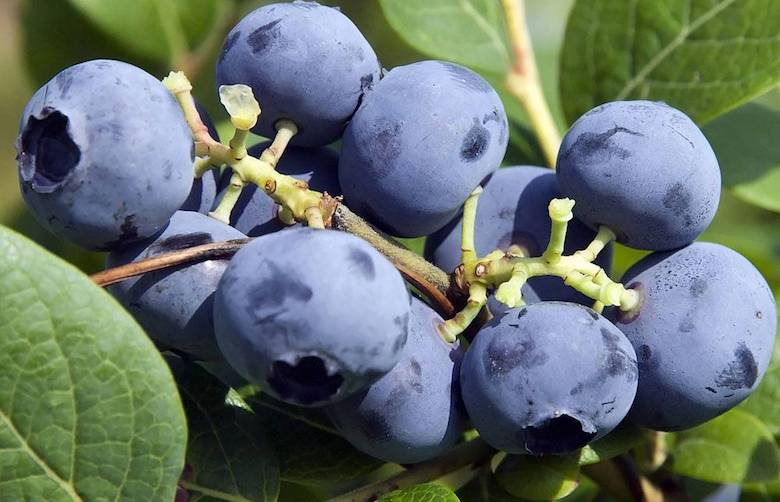 Blueberry 'Bluecrop' from Thompson & Morgan - available to buy now
