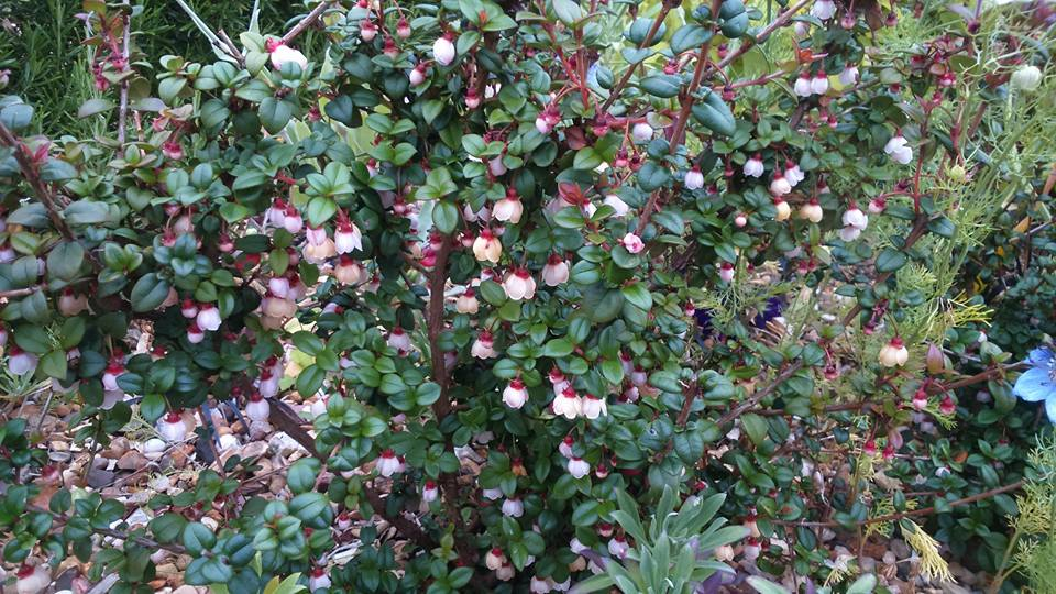 Chilean guava from Nic Wilson's garden. Pink flowers on a green bush