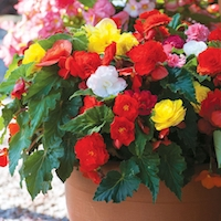 Begonia Non-Stop Mixed by Thompson & Morgan - available to buy now