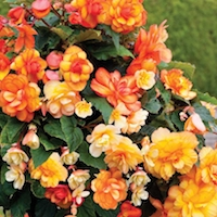 Begonia Apricot Shades Improved F1 Hybrid from Thompson & Morgan - available to buy now