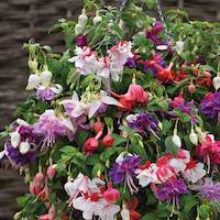 Fuchsia 'Giant Flowered Collection' by Thompson & Morgan - available to buy now