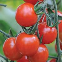 Tomato 'Sweet Aperitif' by Thompson & Morgan - available to buy now