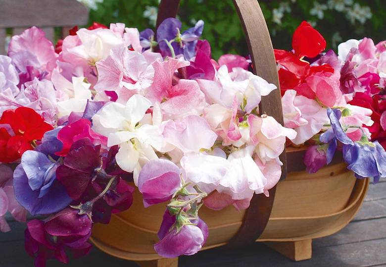 pink and purple sweet peas in a basket. Sweet Pea 'Fragrantissima' from Thompson & Morgan