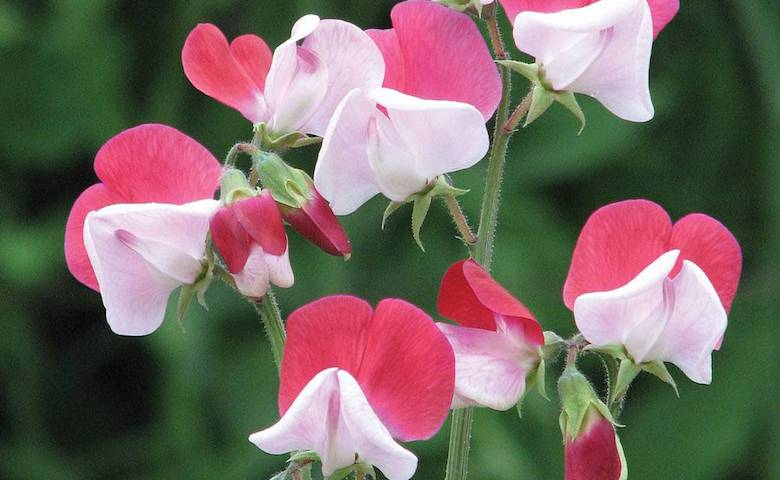 red and white sweet peas, little red riding hood variety