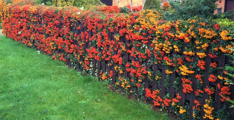 red pyracantha hedge photographed by Nic Wilson at dogwooddays