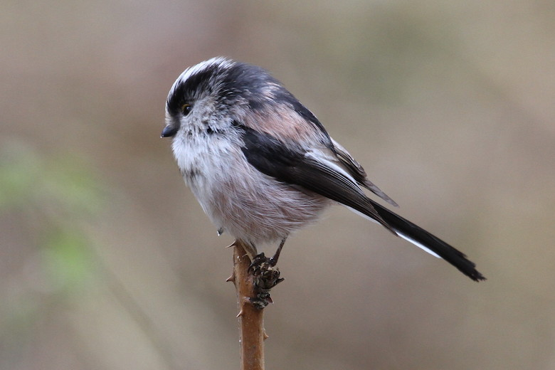 long tailed tit on a branch photographed by Nic Wilson at dogwooddays