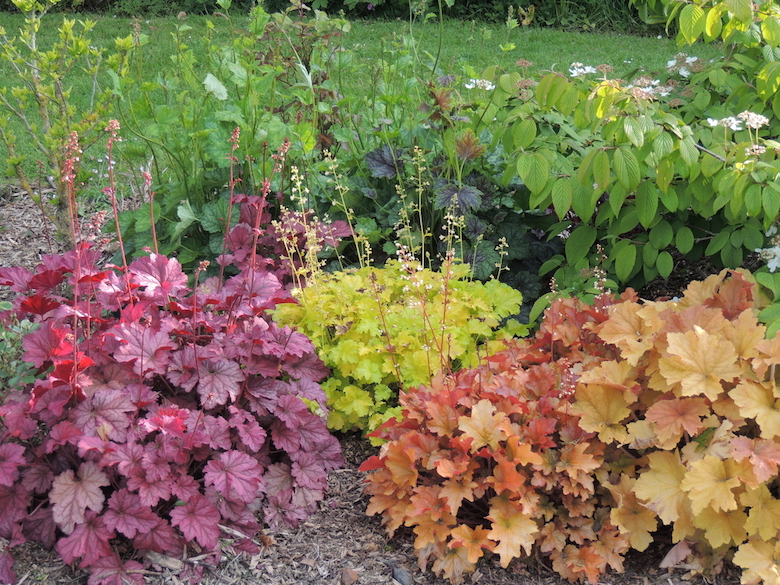 collection of brightly coloured heuchera plants