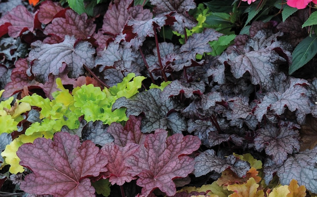 multicoloured heuchera plant - Heuchera 'Patchwork' Mix available from Thompson & Morgan
