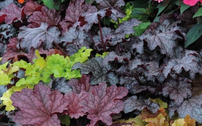 How to grow Heuchera