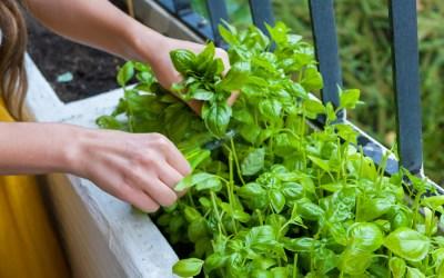Starting a culinary herb garden
