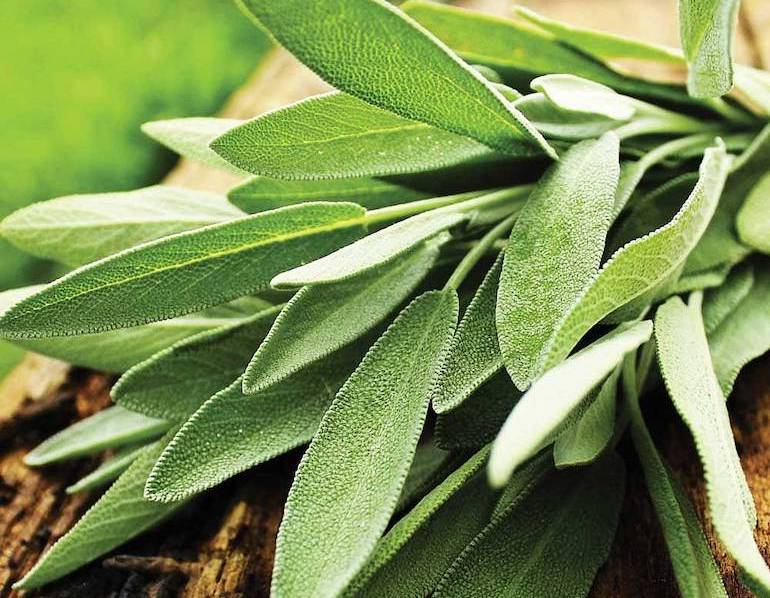 Sage (Salvia officinalis) from Thompson & Morgan