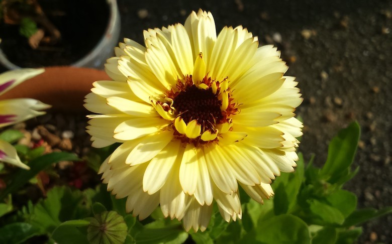 Calendula 'Snow Princess' from Thompson & Morgan