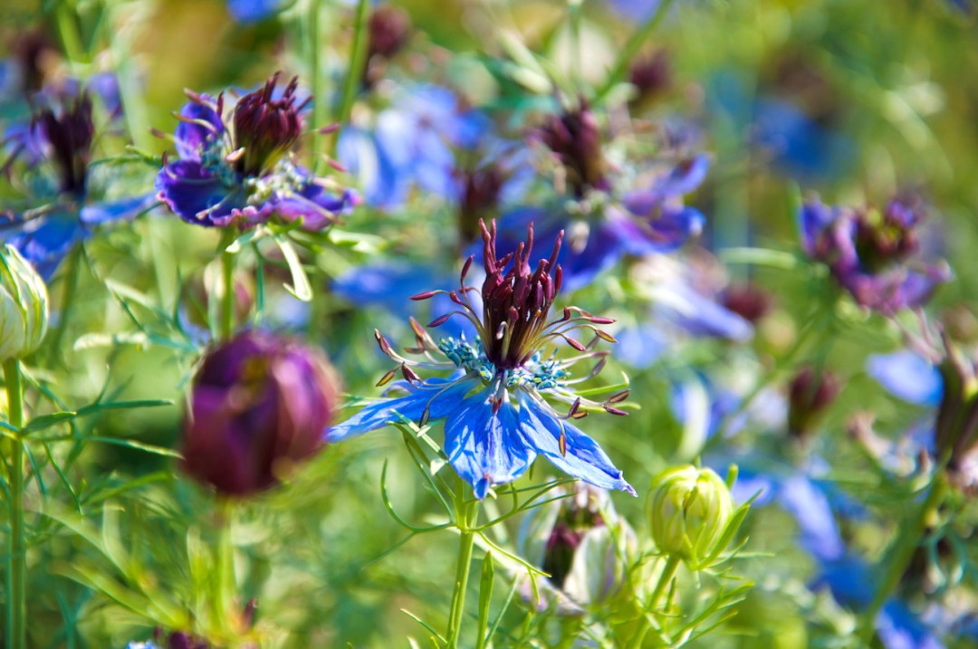 image of Nigella Damascena on a summers day