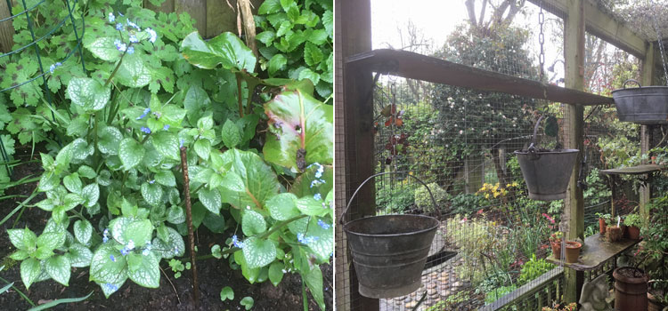 Brunnera 'Alexander's Great' and Caroline's new hanging baskets