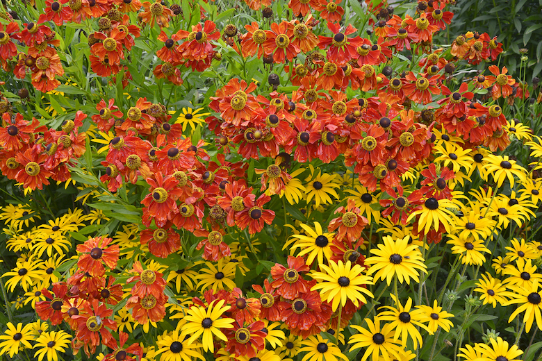 Stock image of red and yellow rudbeckia