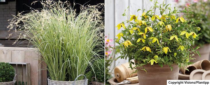 Chlorophytum 'Starlight' and Clematis 'Little Lemons'