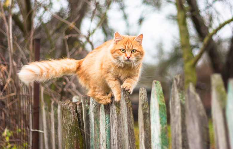 Fluffy ginger cat walking along a fence