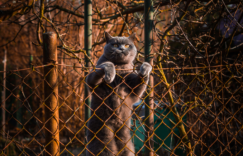 British shorthair cat clambering over a fence