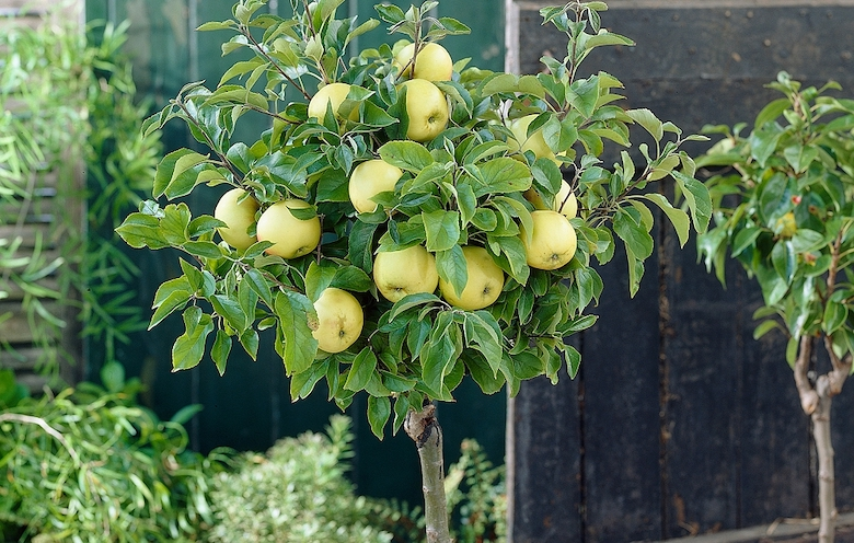 Apple 'Golden Delicious' (M27 rootstock) from Thompson & Morgan