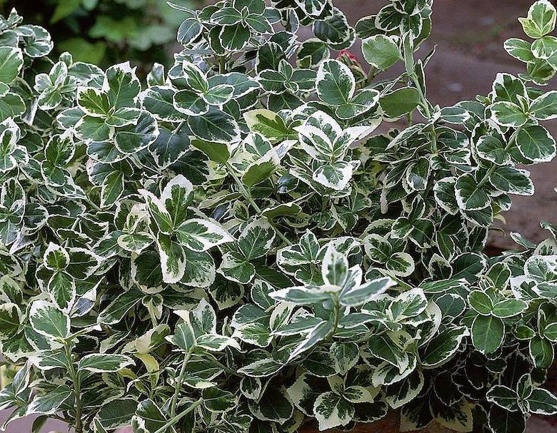 Euonymus 'Emerald Gaiety' from Thompson & Morgan