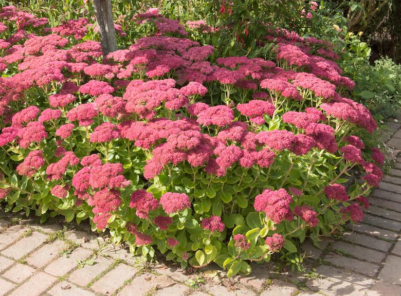 Sedum 'Herbstfreude' in a garden