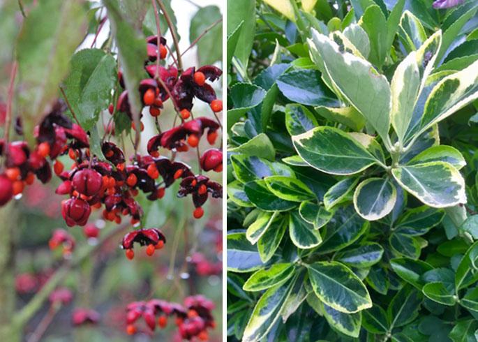 Euonymus plants