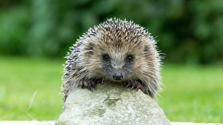 Hedgehog on a rock in the garden