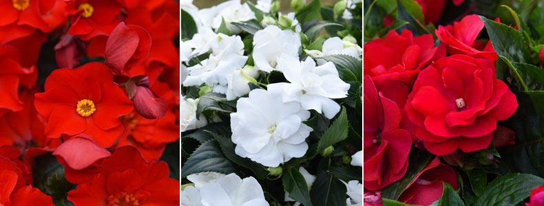 Begonia 'MacaRouge', Busy Lizzie 'Wild Romance White' and Busy Lizzie 'Wild Romance Red'