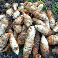 A field of freshly harvested Jerusalem artichokes