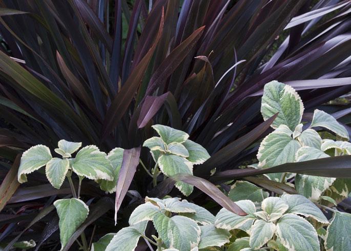 Phormium 'Black Adder' and Plectranthus argentatus