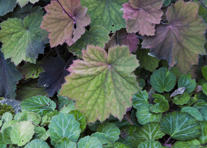 Heuchera 'Big Top Bronze' and Saxifraga stolonifera