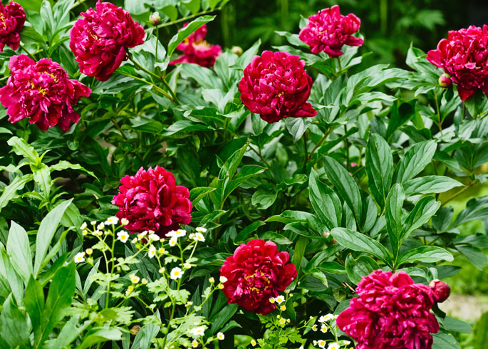 Grow Peonies in full sun