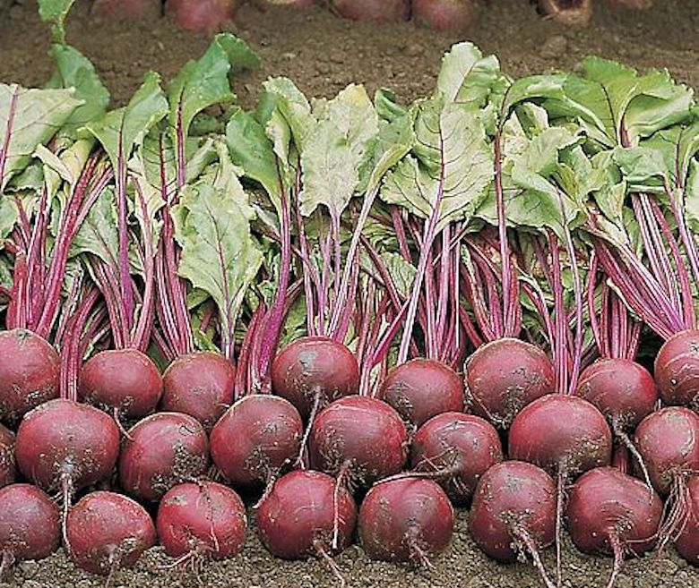 Beetroot 'Wodan' F1 hybrid from T&M