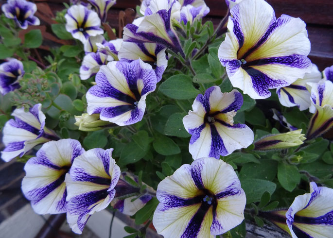 Petunia 'Peppy Blueberry Muffin'