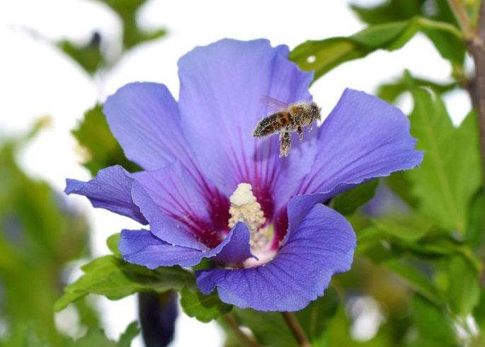 Hibiscus 'Oiseau Bleu'