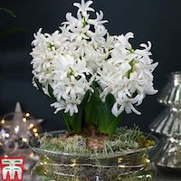 Lit Hyacinth Bowl from T&M
