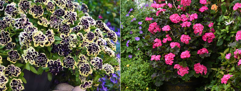 Petunia 'Mystical Midnight Gold' and Geranium 'Tall, Dark & Handsome Hot Pink' ®Thompson & Morgan
