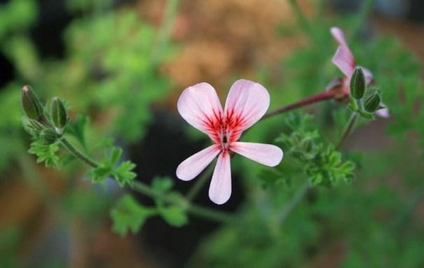 Une seule fleur de pélargonium 'Shannon'.