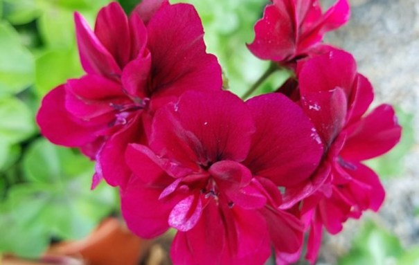 Fleur de géranium 'Tommy'.