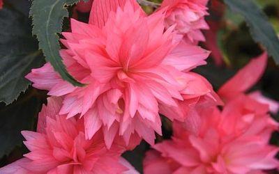 Begonias masterclass: best expert content