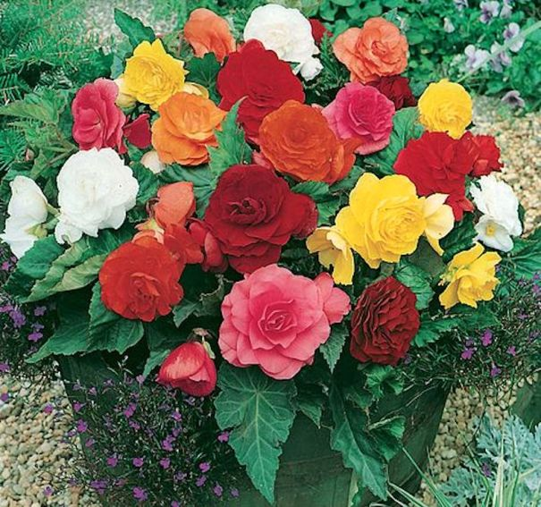 Begonia x tuberhybrida 'Double fleur mixte'