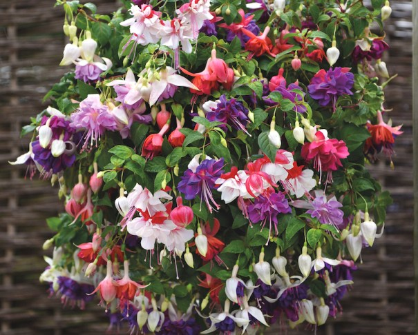 Fuschia Giant-Flowered Collection from Thompson & Morgan