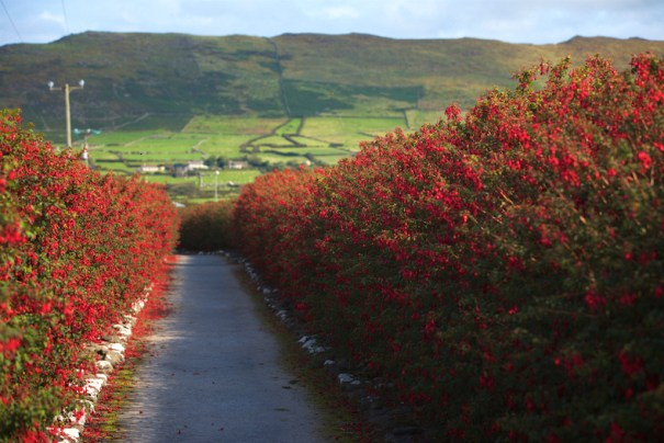 Fuchsia hedging in Ireland
